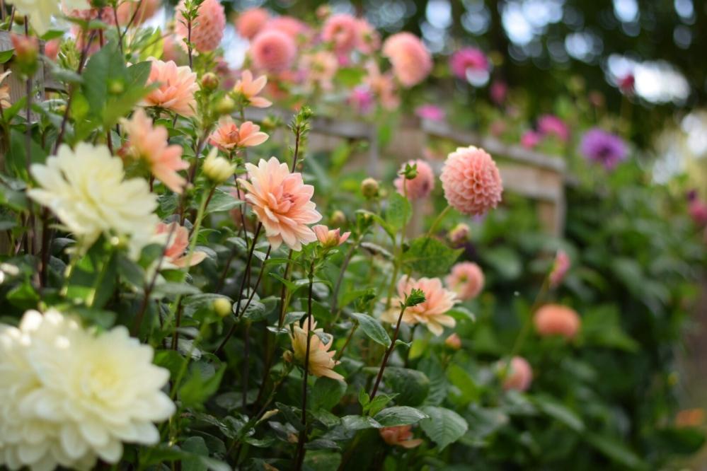 Dahlias Cameo Cream, Apricot Desire, Lilac Time, Natalie G, Linda's Baby, Onesta