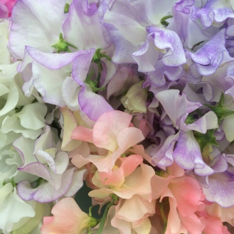 Sweetpeas, Sweet Pea Spring Sunshine Champagne, Sir Jimmy Shand, Winter Sunshine White, Lucy Hawthorne, Helen Millar