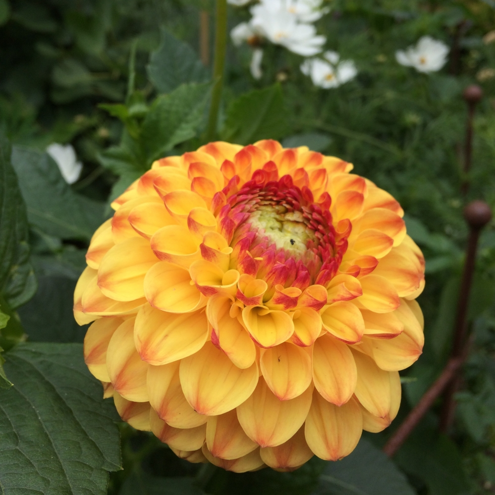 "Dahlia 'Golden Scepter', glowing golden pompom that looks amazing next to cosmos, picking out the eye, its super reliable and floriferous. Flower size 2"" (5cm) Height 32"" (80cm)"