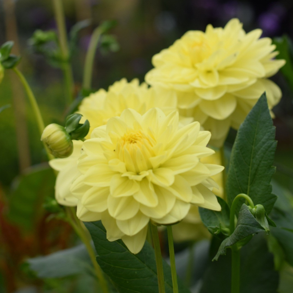 "Dahlia 'Glorie van Heemstede' positively glows at dusk, Waterlily dahlia, mid-pale yellow. Excellent for cutting. Flower size 4-6"" (10-15cm) Height 51"" (130cm)"