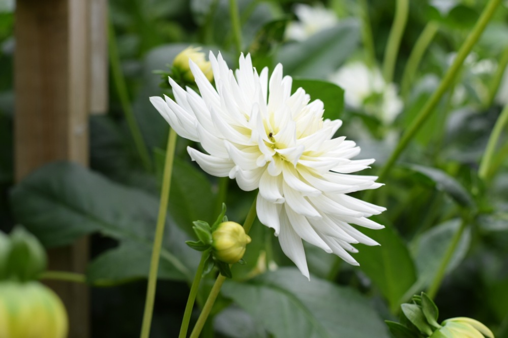"Dahlia My Love, Bucket fulls from this cactus type dahlia with flowers of pure white. Flower size 6"" (15cm) Height 47"" (120cm)"