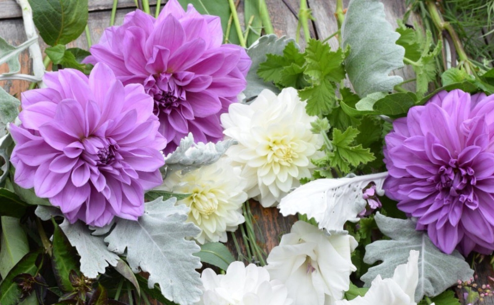 "Dahlia 'Lilac Time, a softer version of the mighty 'Thomas A Edison'. Stunning large blue-lilac flowers. Flower size 6-8"" (15-20cm) Height to 48"" (122cm)"