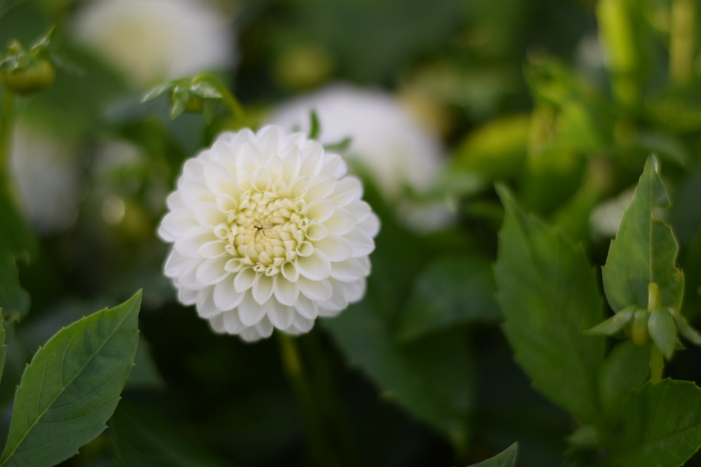 "Dahlia 'Snowflake' Small White pompon dahlia, perfect to grow in pots. Flower size 2"" (5cm) Height 32"" (80cm)"