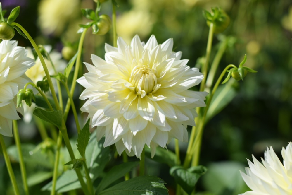 "Dahlia 'Canary Fubuki' Fimbriated dahlia with flowers of creamy yellow subtly stunning. Flower size 4"" (10cm) Height 39"" (100cm)"